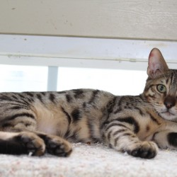 Available for Sale Amazon Bengals Brown Spotted Bengal Kitten