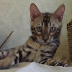 www.amazonbengals.com Brown Spotted Bengal Kitten Bengal Cat Kitten Breeder in Texas