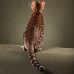 Brown Spotted Bengal