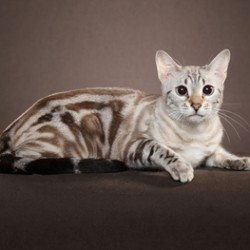 Seal Lynx MArble Bengal