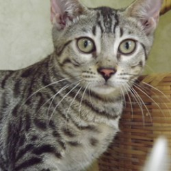 www.amazonbengals.com Silver Spotted Bengal Kitten Bengal Cat Kitten Breeder in Texas