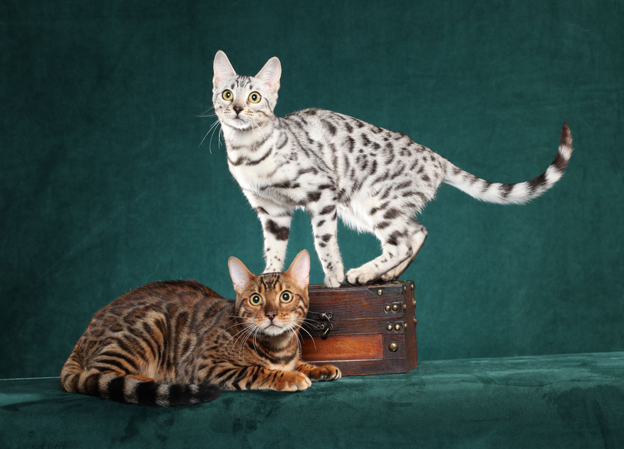 Bengal Cat Breeders in Texas Bengal Breeders in Texas