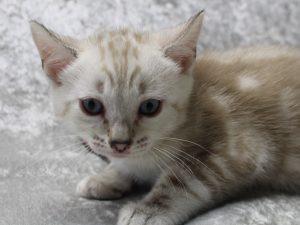 Amazon Bengals Seal Mink Marbled Bengal Kitten