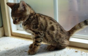 Brown Spotted Male Bengal Kitten www.AmazonBengals.com Seal Lynx Spotted Femal Bengal Kitten www.AmazonBengals.com