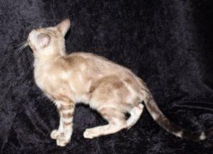 Seal Lynx Point Marble Male Bengal Kitten