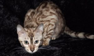 Seal Mink Spotted Male Bengal Kitten
