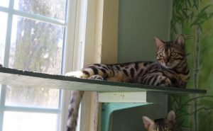 Amazon Bengals Brown Spotted Bengal Kitten
