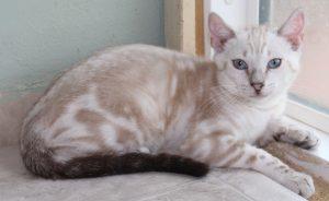 AmazonBengals Seal Lynx Point Marble Female Bengal Kitten