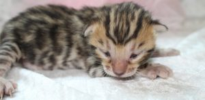 AmazonBengals Brown Spotted Bengal Kitten FEMALE Princess Lily www.amazonbengals.com