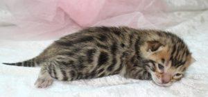 AmazonBengals Brown Spotted Bengal Kitten FEMALE Princess Rose www.amazonbengals.com