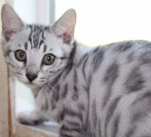 Silver Spotted Male Bengal Kitten www.amazonbengals.com