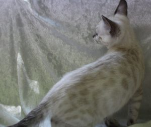 AmazonBengals Silver Seal Lynx Point Spotted Bengal Kitten FEMALE Princess Celest www.amazonbengals.com