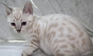 AmazonBengals Seal Lynx Point Spotted Bengal Kitten MALE Prince Apollo www.amazonbengals.com