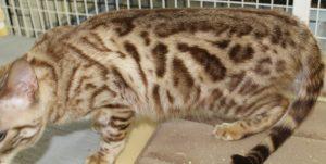 Amorecat Seal Mink Spotted Bengal Kitten Male Prince Edward www.amazonbengals.com