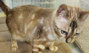 Amorecat Seal Mink Marble Bengal Kitten Male Prince George www.amazonbengals.com