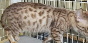 Amorecat Seal Mink Spotted Bengal Kitten Male Prince Charming www.amazonbengals.com