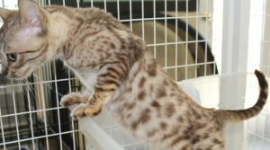 AmoreCat Seal Mink Spotted Bengal Kitten Prince Charming www.amazonbengals.com