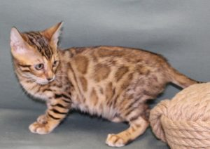 www.amazonbengals.com Female Brown Spotted Bengal Kitten
