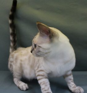 www.amazonbengals.com Female Seal Lynxy Point Spotted Bengal Kitten