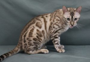 www.amazonbengals.com Male Seal Mink Spotted Bengal Kitten