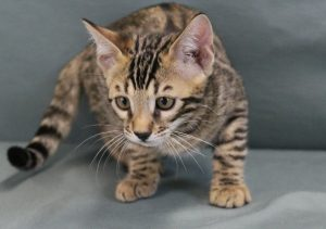 www.amazonbengals.com Male Brown Spotted Bengal Kitten