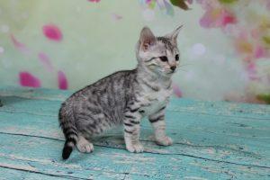 Silver Black Spotted Female Bengal Kitten
