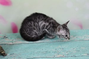 Silver Charcoal Spotted Bengal Kitten