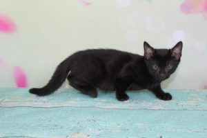Melanistic Black Spotted Female Bengal Kitten