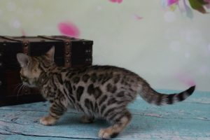AmazonBengals Female-Ella Brown Black Spotted Bengal Kitten