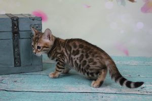 AmazonBengals Female (Emmy) Brown Black Spotted Bengal Kitten