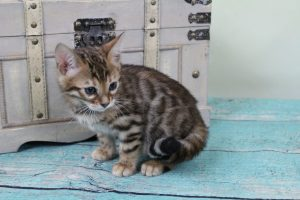 AmazonBengals Female (Erin) Brown Black Spotted Bengal Kitten