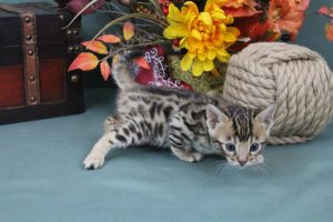 AmazonBengals Female (Ingrid) Brown Black Spotted Bengal Kitten