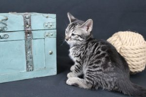 AmazonBengals Male (Claud) Silver Charcoal Spotted bengal Kitten