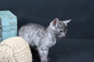 AmazonBengals Male (Cliff) Silver Smoke Spotted Bengal Kitten