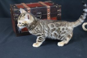 AmazonBengals Male (Ethan) Brown Black Spotted Bengal Kitten