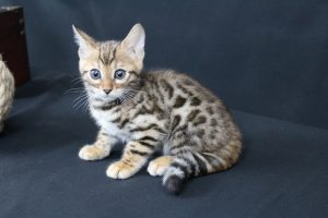 AmazonBengals Male (Evan) Brown Black Spotted Bengal Kitten