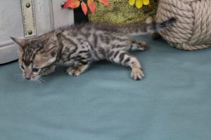 AmazonBengals Male (Ian) Brown Black Spotted Bengal Kitten