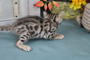 AmazonBengals Male (Igor) Brown Black Spotted Bengal Kitten