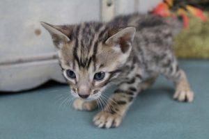 AmazonBengals Male (Igor) Brown Black Spotted Bengal Kitten