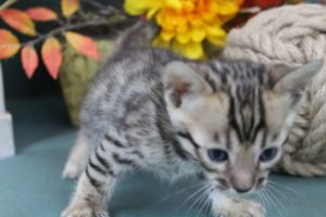AmazonBengals Male (Isacc) Brown Black Spotted Bengal Kitten