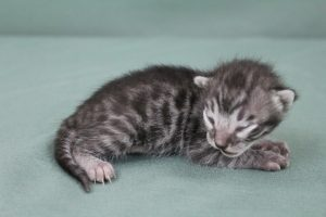 AmazonBengals Male (Kace) Silver Charcoal Spotted Bengal Kitten