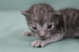 AmazonBengals Male (Kade) Silver Smoke Spotted Bengal Kitten