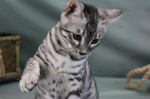 www.amazonbengal.com Silver Charcol male Bengal Kitten