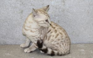 www.amazonbengals.com seal mink spotted bengal female kitten