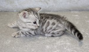 www.amazonbengals.com Silver Black Spotted Bengal female
