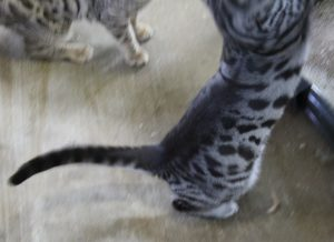 www.amazonbengals.com Silver charcoal Female