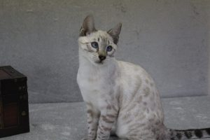 www.amazonbengals.com Silver Seal Lynx Point Bengal Kitten Male