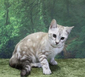 www.amazonbengals.com Silver Seal Mink Marble Bengal Kitten