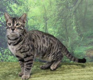 Silver & Brown Spotted Bengal Kittens For Sale - Texas