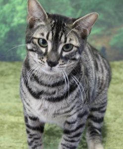 www.amazonbengals.com Silver Charcoal Spotted Bengal Kitten